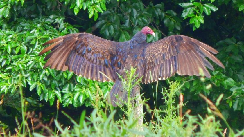 turkey_vulture_by_smbaird-d7ohvga