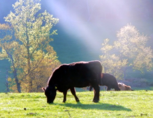 fresh_as_a_morning_cow_by_smbaird-d7gxo3d