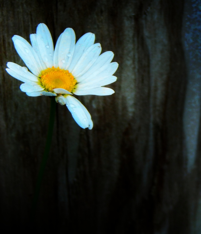 daisy__daisy_by_smbaird-d7nydhm