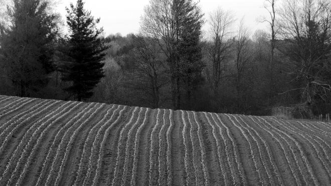 fields of slaw