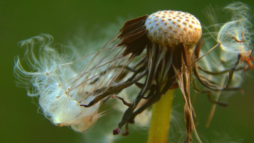 Gone to seed