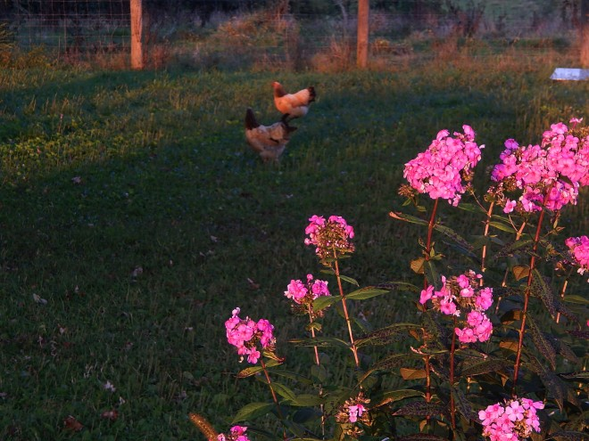 chicks and flowers