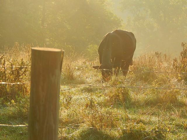 Mystic cow