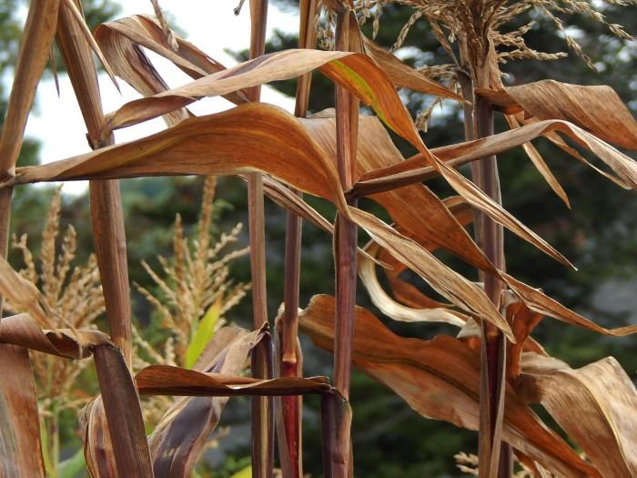 stalks