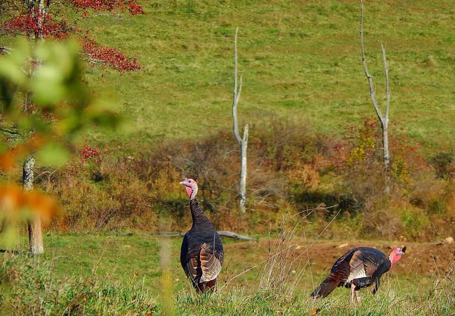 brotherhood of the wild turkeys